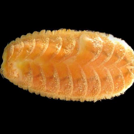 scaleworm image