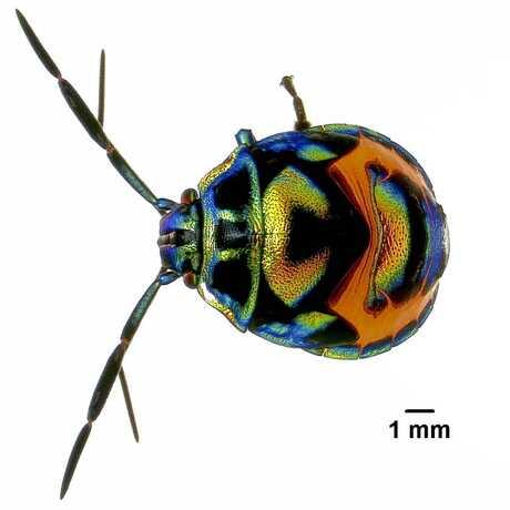 Pentatomidae nymph