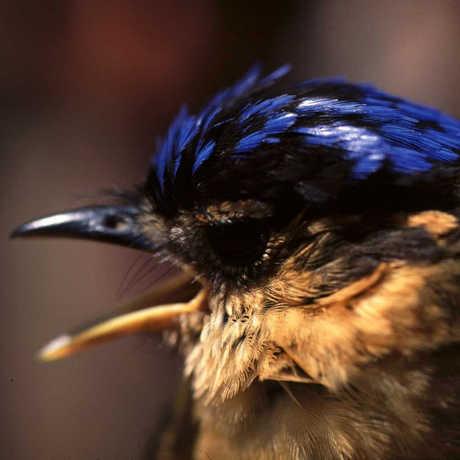 Ifrita bird