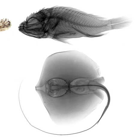 Photos and radiographs of fish specimens