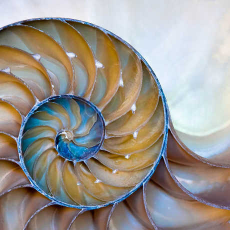 Cross section of a nautilus shell