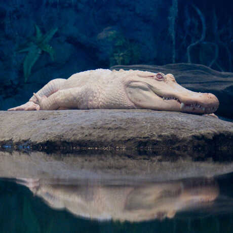 Claude the albino alligator basks on his rock, with his reflection in the water.