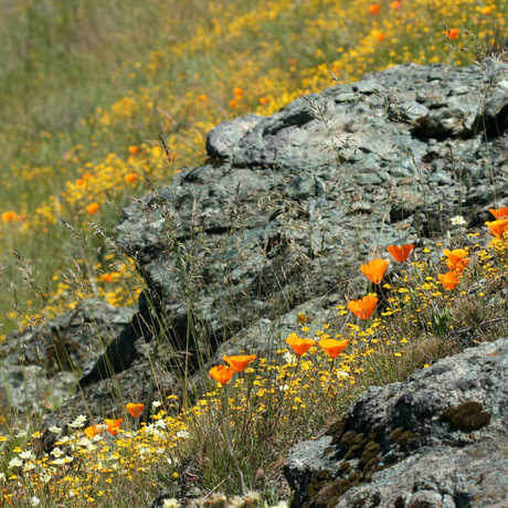 poppies on serpentine rock