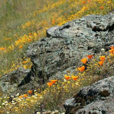 poppies on serpentine rock