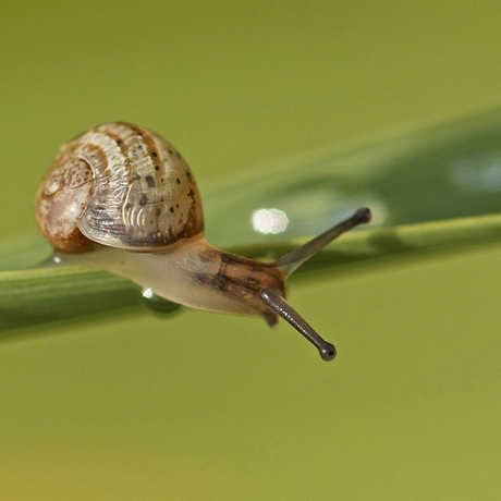 Garden snail, nutmeg66