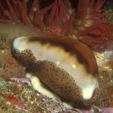 cowry shell