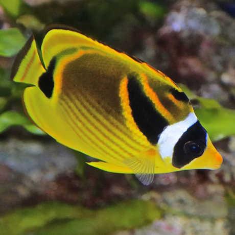 RacoonButterflyfish_RonDeCloux
