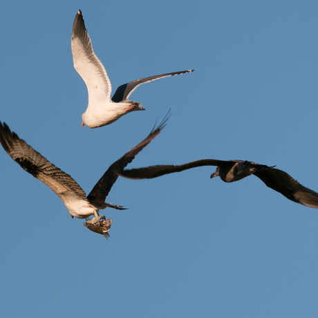Osprey with fish pursued by gulls
