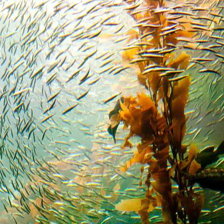 Kelp forest fish Tom Thai