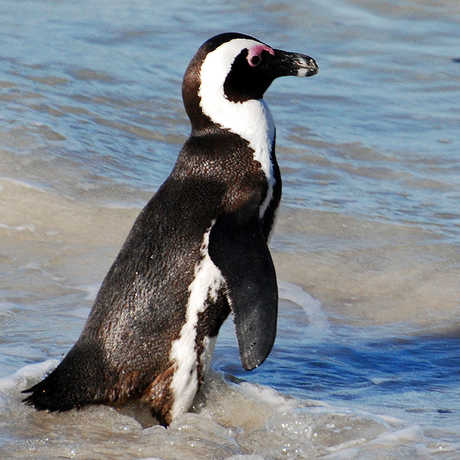 AfricanPenguin_HarveyBarrison
