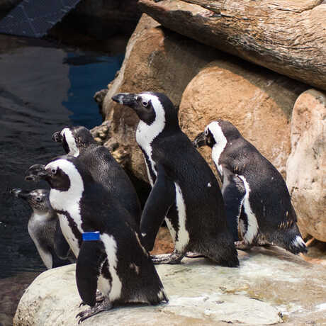 Five African penguins gather on a rock at feeding time.