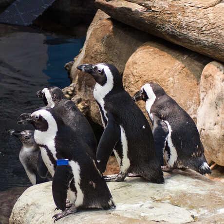 african penguins in their exhibit