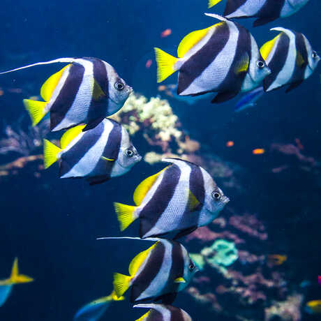 A school of yellow and black and white-striped fish in Animal Attraction.