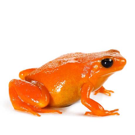 Closeup of a Golden Mantella, a brightly colored orange frog.