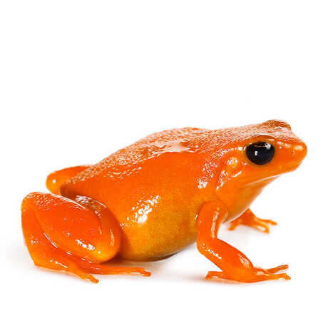 Closeup of a golden mantella