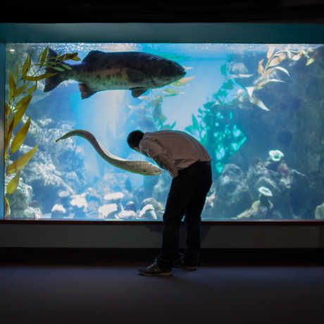 Man looking at large sea bass in Steinhart Aquarium.