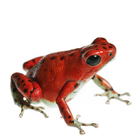 Closeup of a red tropical frog