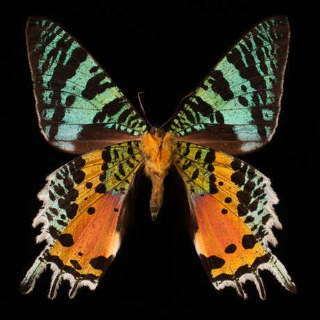Photo of a butterfly specimen.