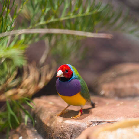 Gouldian finch, Color of Life