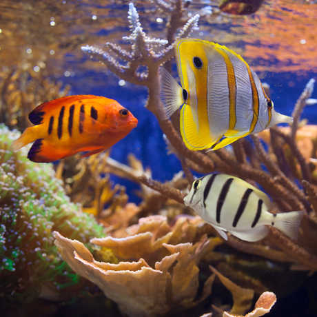 Colorful fish swim in the Academy's Philippine Coral Reef exhibit