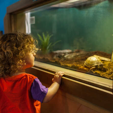 A little girls watches a turtle, one of several live animals that visit the Cove.