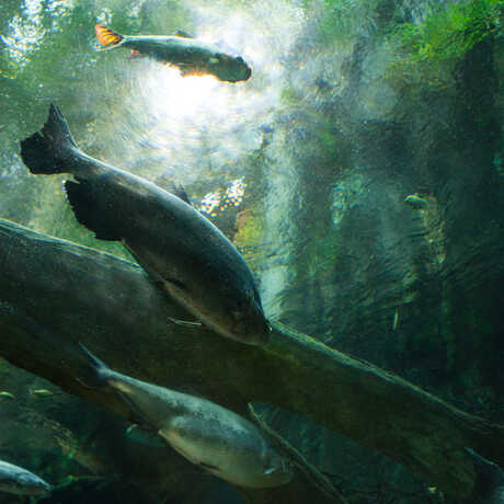 A view from the flooded forest tunnel of arapaima and other large fish swimming overhead.