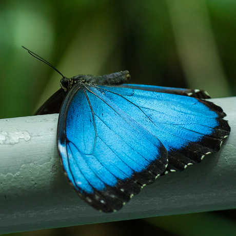 A brilliant blue Morpho butterfly rests on a railing inside the Osher Rainforest.