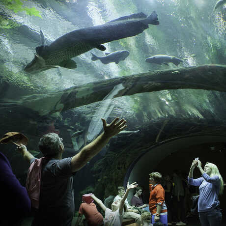 A guest marvels at a giant arapaima from below in the flooded forest tunnel