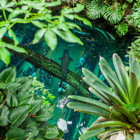 Giant arapaima in the Academy's Rainforests of the World exhibit