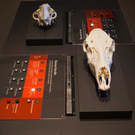 "View of an interactive that helps visitors learn to ""read"" skulls by comparing features like eye-sockets and jaws."