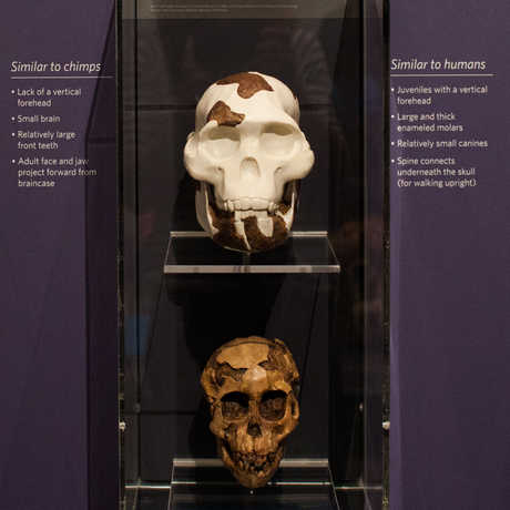 The skulls of ancient human ancestors are also on display in the Skulls exhibit.