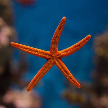 An elegant red sea star displays its ventral side against an exhibit tank
