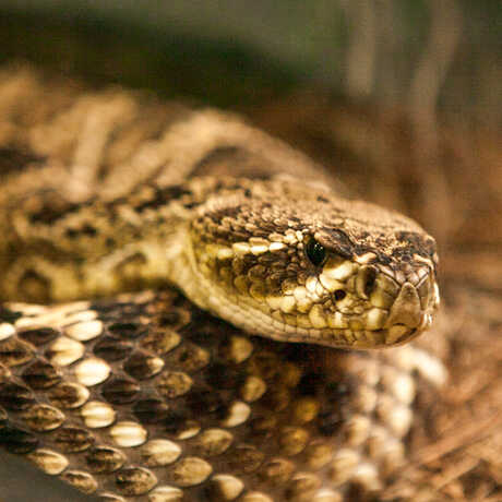 A coiled up Eastern diamondback rattlesnake seems to stare at the camera.