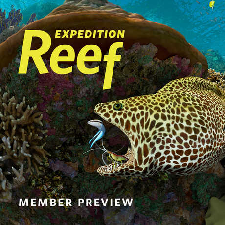 A spotted moray gets his teeth cleaned by a shrimp in the Expedition Reef preview