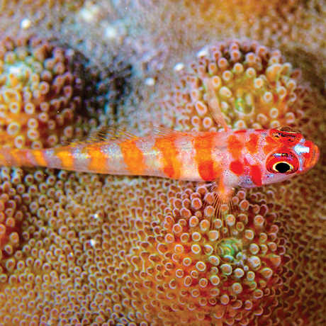 A pink and orange striped fish atop a coral colony