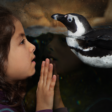 A girl comes face-to-beak with an African penguin at the California Academy of Sciences.