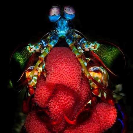 A mantis shrimp mother guards her eggs, by Filippo Borghi