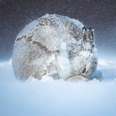 Scottish mountain hare braves a winter storm. Photo by Andy Parkinson