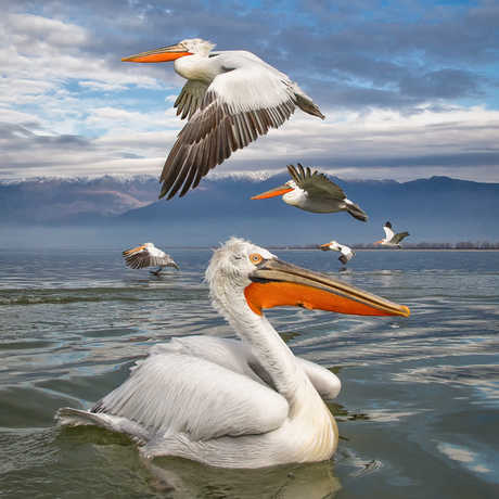 Pelicans Composition by Marco Urso