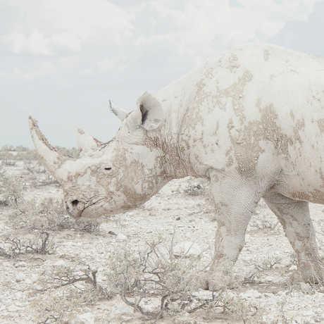A black rhino coated in white dust, by Maroesjka Lavigne