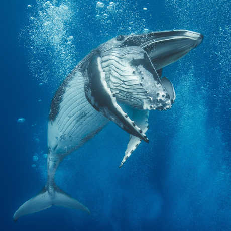 Humpback whale calf appears to be smiling as it frolics in a curtain of bubbles