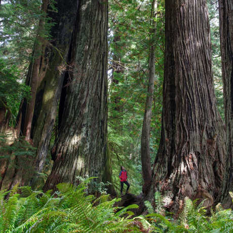 A visitor looks up at a giant coast redwood at Prairie Creek State Park