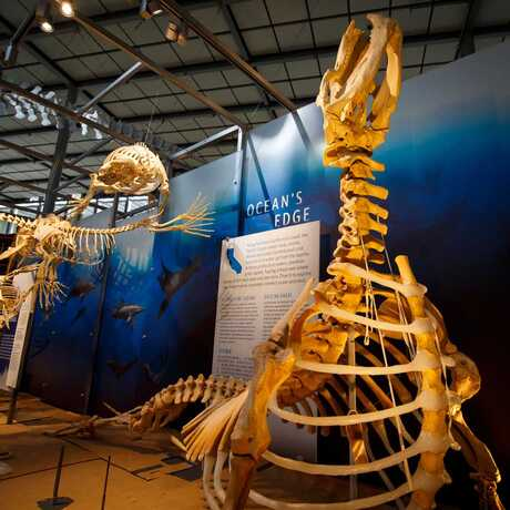 Dramatic articulated skeletons of pinnipeds and cetaceans in the Giants of Land and Sea exhibit