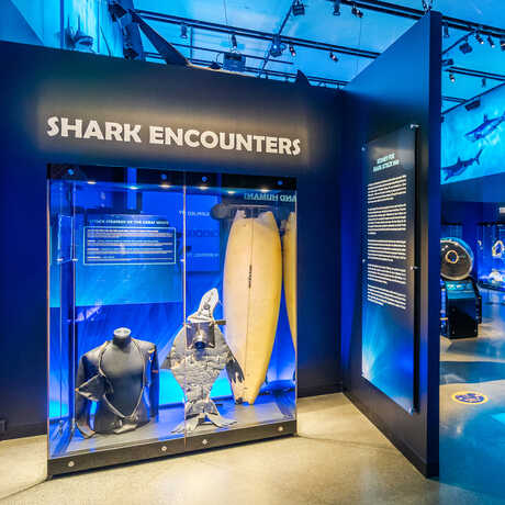 Exhibit display with surfboard bitten by shark and wetsuit worn by shark bite victim