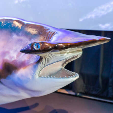 Close-up of hammerhead shark cast