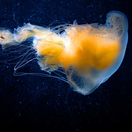 Egg-yolk jelly drifting against a dark background