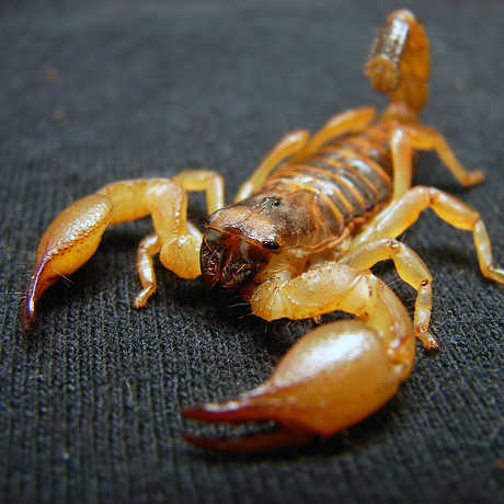 Scorpion photo by Matt Reinbold, shared via CC BY-SA 2.0