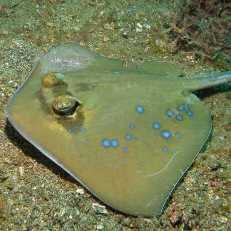 Bluespotted stingray, or Neotrygon kuhlii