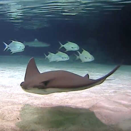 Shark, Stingray and Fish Cam at Our Shark Lagoon