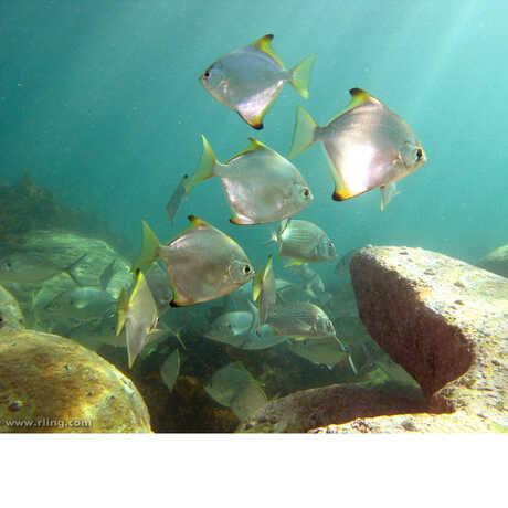 Diamond fish